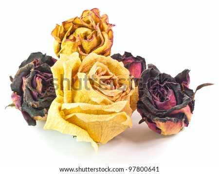 The isolated 5 dry buds of red and yellow roses - stock photo