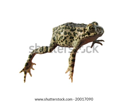 The isolated frog on a white background - stock photo