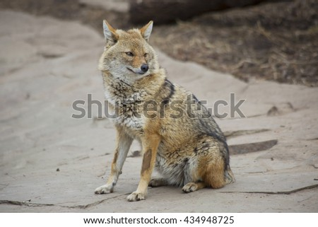 The Jackal (Wild Dog). Jackals are usually small in size. In appearance, the Jackal is very similar to the gray wolf, in fact, it is a small copy. Common jackals are also called reed wolves.