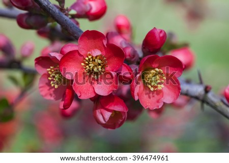 The  Japan quince red flowers and green leaves wwith the blurry flowers on the background.