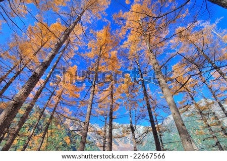 The Japanese larch of colored leaves(HDR) - stock photo