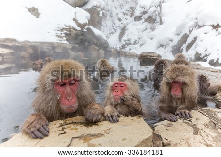 The Japanese monkey which enters the hot spring - stock photo