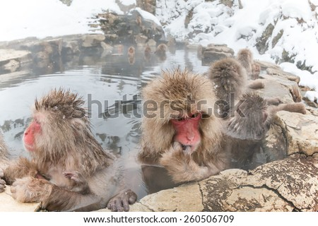 The Japanese monkey which thinks about something in a hot spring - stock photo