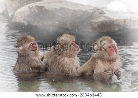 The Japanese monkey which washes a back in a hot spring