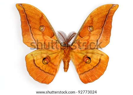 The Japanese Silk Moth Antheraea yamamai, introduced in Europe for silk production (male specimen) - stock photo