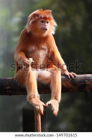 The Javan lutung or Javan langur (Trachypithecus auratus). - stock photo