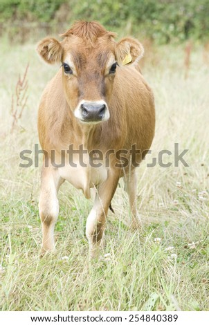 The Jersey cow.  - stock photo