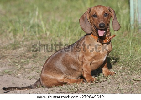 the joyful dog sits on a grass