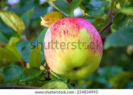 the  juicy ripe apple hangs on an apple-tree - stock photo