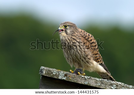 The juvenile kestrel (Falco tinnunculus) finishing the favorite meal in Uppland, Sweden - stock photo