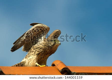 The juvenile kestrel (Falco tinnunculus) prepare to leave the tiled roof - stock photo