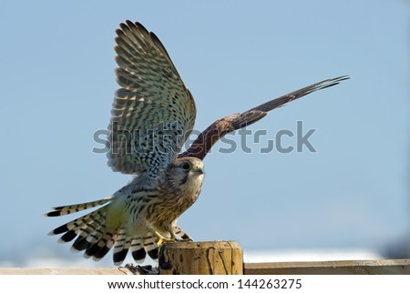 The juvenile kestrel (Falco tinnunculus) prepare to leave the wooden pole in Uppland, Sweden - stock photo