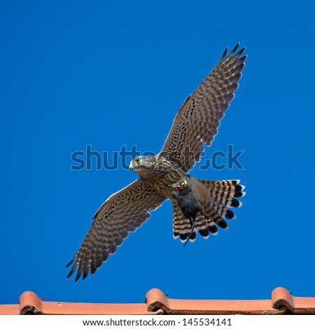 The juvenile kestrel (Falco tinnunculus) with the capture in the claws, a big vole, in Uppland, Sweden - stock photo