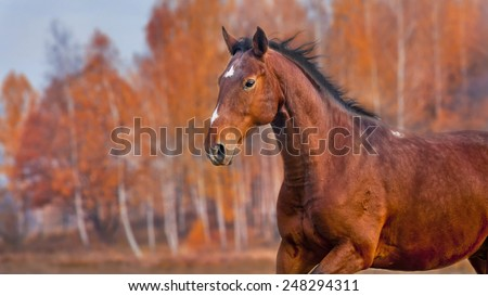 The Karachai horse running on golden forest background - stock photo