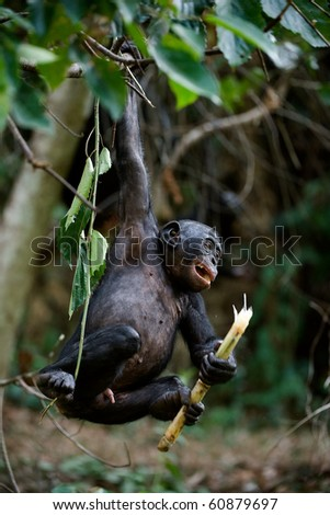 The kid of a chimpanzee bonobo frolics and shakes on a tree branch, having clamped in a paw a food piece. - stock photo