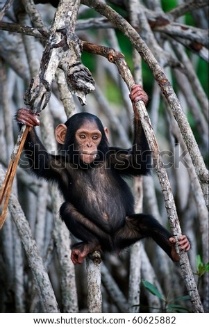 The kid of a chimpanzee. The cub of a chimpanzee frolics on roots mangrove thickets. - stock photo