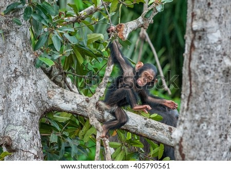 The kid of a chimpanzee. The kid of a chimpanzee plays on the tree. Chimpanzees (sometimes called chimps)  (Pan troglodytes) - stock photo