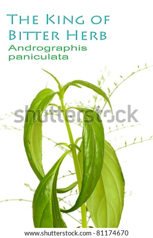 The King of Bitter Herb - Andrographis paniculata