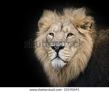 The King of the Jungle with his chilling stare. On a black background. - stock photo
