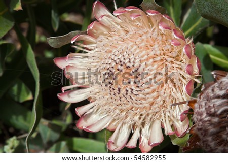 The King Protea (Protea cynaroides) is a flowering plant. It is a distinctive Protea, having the largest flower head in the genus. The species is also known as Giant Protea, Honeypot, King Sugar Bush. - stock photo