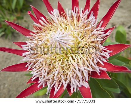 The King Protea (Protea cynaroides) is a flowering plant. It is a distinctive Protea, having the largest flower head in the genus. - stock photo