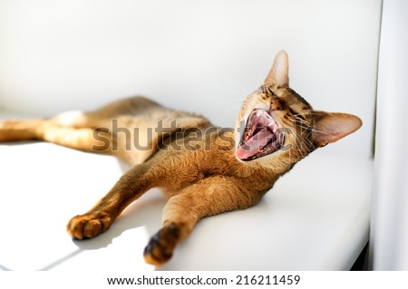 the kitten Abyssinian yawns and lies on the windowsill - stock photo