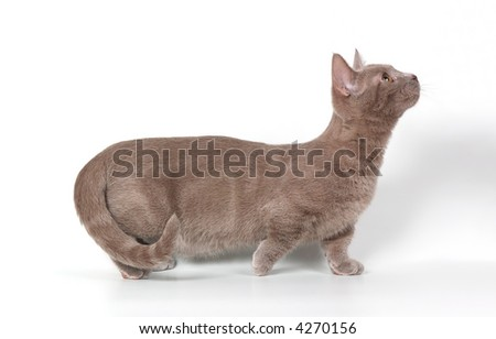 The kitten of breed of munchkin - stock photo