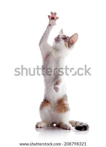 The kitten plays. Multi-colored small kitten. Kitten on a white background. Small predator. Small cat. - stock photo