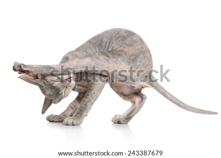 The kitten to pose yoga on white background - stock photo