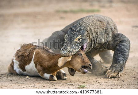 The Komodo dragon (Varanus komodoensis) attacks the prey. It is the biggest living lizard in the world, Indonesia. - stock photo