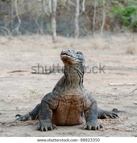 The Komodo dragon, Varanus komodoensis, is the biggest living lizard in the world, Indonesia. - stock photo
