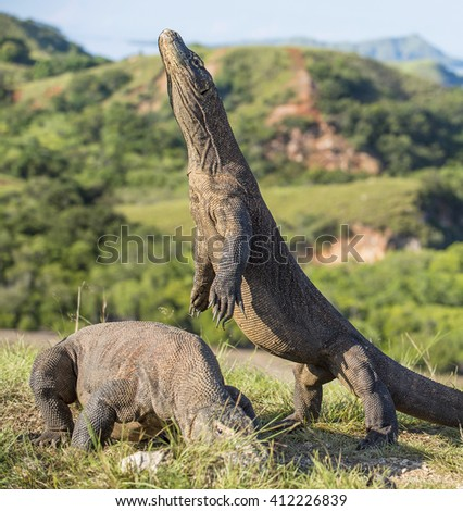 The Komodo dragon (Varanus komodoensis) stands on its hind legs and open mouth. It is the biggest living lizard in the world. On island Rinca. Indonesia. - stock photo