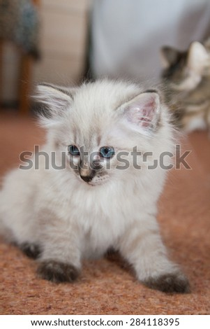 The Kurilian Bobtail kitten