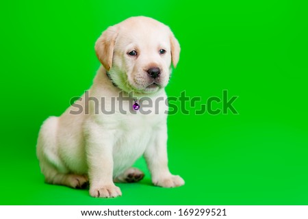 The labrador puppy on green