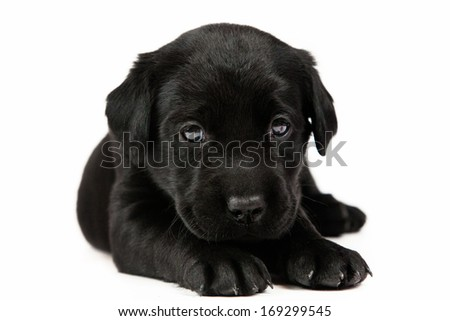 The labrador puppy on white