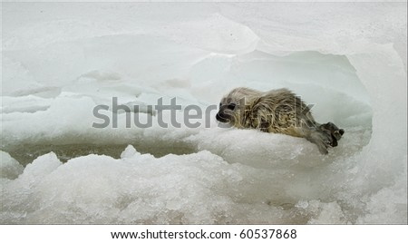 The Ladoga Ringed Seal (Pusa hispida ladogensis), is a freshwater subspecies of the Ringed Seal (Pusa hispida) which are found entirely in Lake Ladoga in northwestern Russia. - stock photo