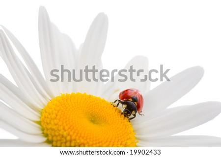 The ladybug sits on a chamomile - stock photo