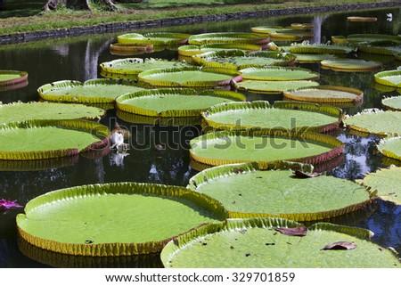 The lake in park with Victoria amazonica, Victoria regia. Mauritius. - stock photo