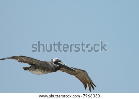 The large brown pelican is an endangered species. - stock photo