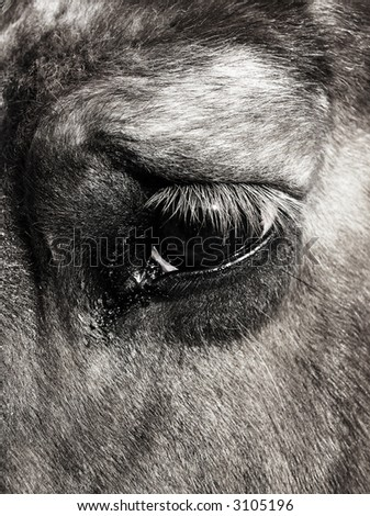 the large intelligent eye of a belgian draft mare - black and white - stock photo