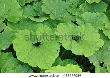 the large leaves of the butterbur