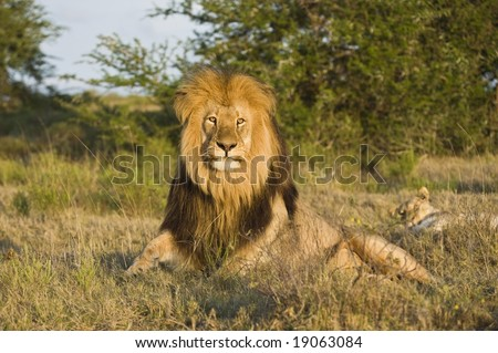 The late afternoon sun catches the lions eyes as he rises to hunt - stock photo