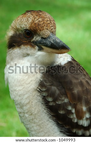 The Laughing Australian Kookaburra. One of the most famous Australian birds.