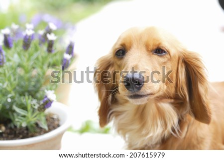 The Lavender Blooming In The Garden And Dogs