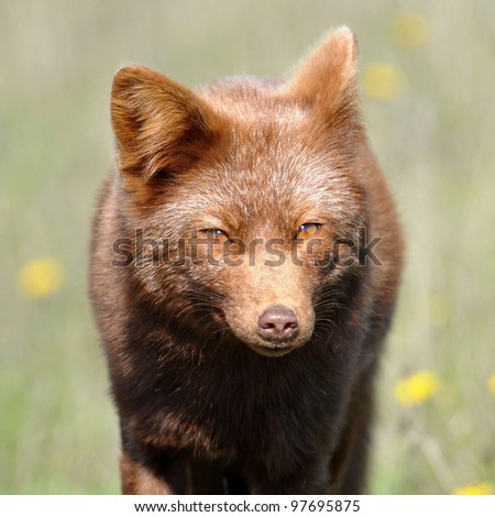 The Lazy Brown Fox - stock photo