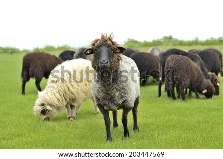 The leader of the herd standing out  - stock photo