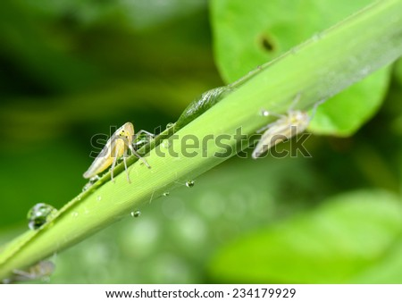 The leaf cicada larva in green plants for close-up  - stock photo