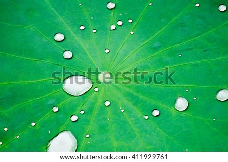The leaf of lotus and water drop - stock photo