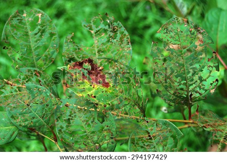 The leaves bitten by insects left imprints - stock photo
