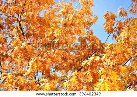 The leaves of champion oak (Quercus Borealis ) or northern red oak (Quercus rubra)